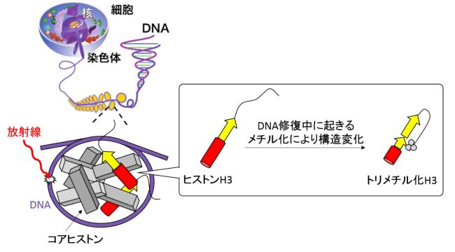 メチル化によるヒストンタンパク質構造変化の初観測